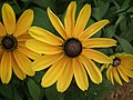 Rudbeckia from Lalbagh flower show Aug 2013 8283.JPG