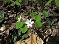 Rue Anemone Nature Hike Duke Forest Durham NC 0276 (26602546151).jpg