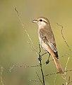 Rufous-tailed Shrike (8119219998).jpg