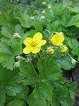 Ruhland, Grenzstr. 3, Golderdbeere im Garten, blühende Pflanzen, Frühling, 02.jpg