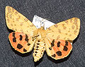Ryparia purpurata.jpg