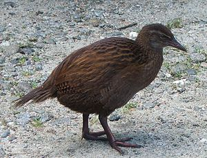 Weka - A western weka on the West Coast, New Zealand near Karamea