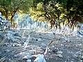 Sabine Beckmann Scilla urginea near E pass Katharo 9 04.jpg