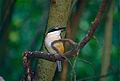 Sacred Kingfisher (Todiramphus sanctus) (9876049915).jpg