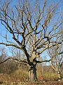 Sacred Oak (Yellow Oak) in Pennsylvania - November 2012.jpg