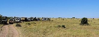 Safari - Lion-watching during a safari in the Masaai Mara