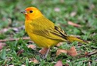 Saffron finch (Sicalis flaveola) 27