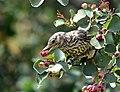 Sage thrasher on Seedskadee National Wildlife Refuge (35814922260).jpg
