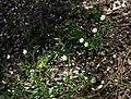 Sagina japonica.JPG