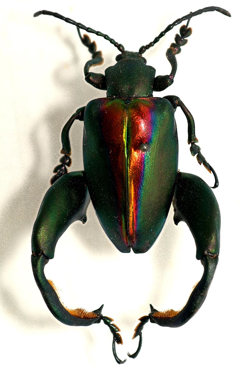 Frog-legged leaf beetle