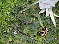 Saintpaulia diplotricha - Copenhagen Botanical Garden - DSC07431.JPG