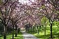 Sakura Tree Blossom - Turkey, Ankara, Dikmen Vâdisi - Spring, 2015.jpg