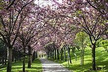 Cherry Blossoms In Turkey Ankara Dikmen Vâdisi Spring 2016