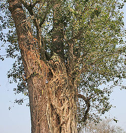 Sal (Shorea robusta)- trunk- strangulated by some ficus tree at Jayanti, Duars W Picture 119.jpg