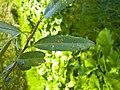 Salix fragilis 005.jpg