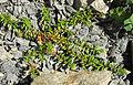 Salix lindleyana 2.jpg