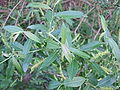 Salix triandra leaves-1.JPG