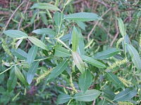 Salix triandra leaves-1
