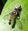 Salticus scenicus. .. with prey..Melanostoma scalare , Hover fly - Flickr - gailhampshire (1).jpg
