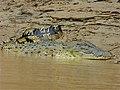 Saltwater Crocodile (Crocodylus porosus) (8077107075).jpg