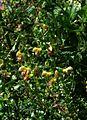 Salvia Amber - Flickr - peganum (3).jpg