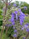 Salvia nutans 2016-05-31 2024.jpg