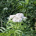 Sambucus ebulus-Sureau Yèble-Fleurs-20150616.jpg