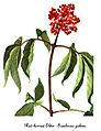 Sambucus racemosa-2, by Mary Vaux Walcott.jpg