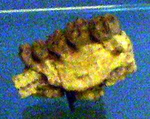 Samburupithecus - Jaw fragment