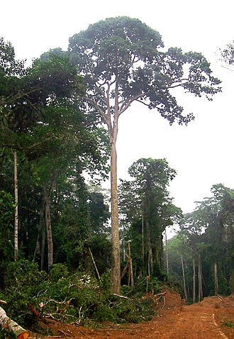 Sapele - A sapele tree in Brazzaville, Republic of the Congo