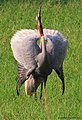 Sarus Cranes Courtship.jpg
