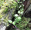 Satureja douglasii yerba buena - Flickr - brewbooks.jpg