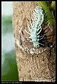 Saturniidae caterpillars (5814205015).jpg