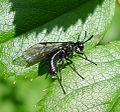 Sawfly - Flickr - gailhampshire (5).jpg