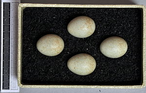 African stonechat - Eggs, Collection Museum Wiesbaden, Germany