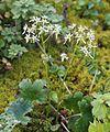 Saxifraga fortunei var. alpina.JPG