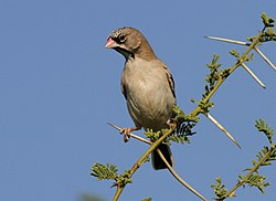 Scaly-feathered weaver, Sporopipes squamifrons (also known as the scaly-feathered finch) at Mapungubwe National Park, Limpopo, South Africa (17679586748).jpg