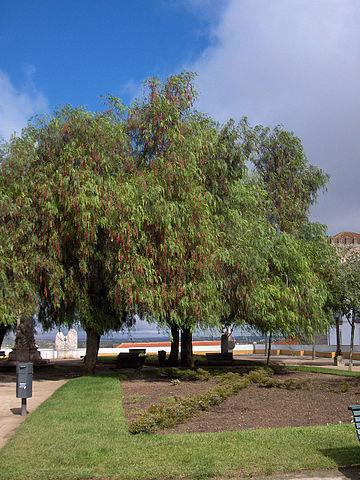 File schinus wikimedia commons for Arboles jardin hoja perenne