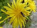 Schwebfliege auf Blüte.jpg