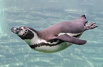 """Flipper (anatomy) - Penguin swimming. What is considered a """"vestigial"""" wing is in fact a very effective flipper."""