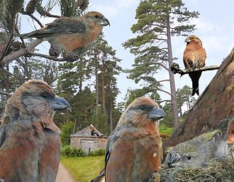 Crossbill - Image: Scottish Crossbill from the Crossley ID Guide Britain and Ireland
