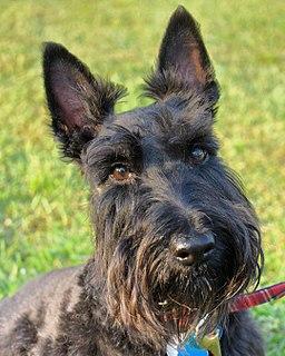 Scottish Terrier Black terrier dog breed from Scotland