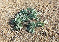 Sea kale, Dungeness - geograph.org.uk - 1006999.jpg