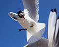 SeagullBansin4.jpg