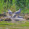 Seagull chicks IMG 3560.jpg