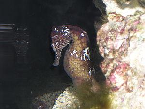 Hippocampus kuda - Image: Seahorse 2