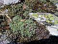 Sedum hispanicum PID1183-1.jpg