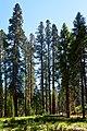Sequoias, Yosemite (44870385522).jpg