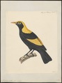 Sericulus melinus - 1824-1839 - Print - Iconographia Zoologica - Special Collections University of Amsterdam - UBA01 IZ16400211.tif