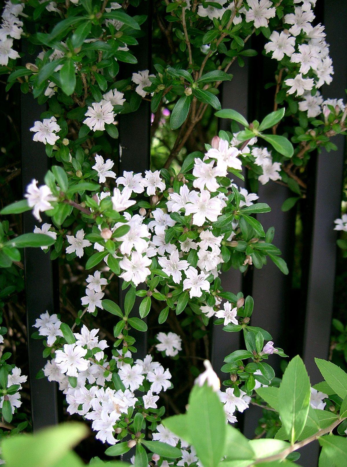 Serissa Japonica Wikispecies